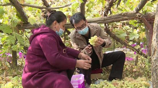 余渔和农民一起采摘葡萄。
